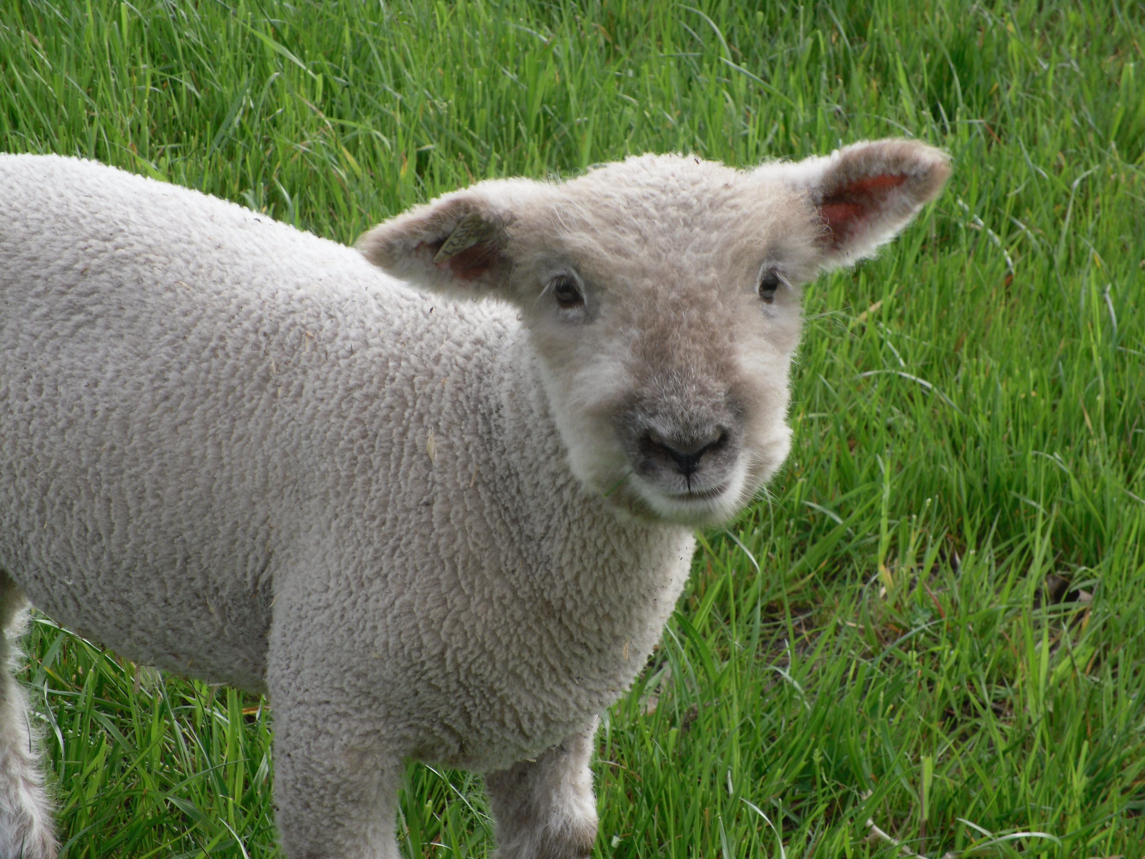 Spring lamb crop pictures! – Dapkus Southdown Sheep