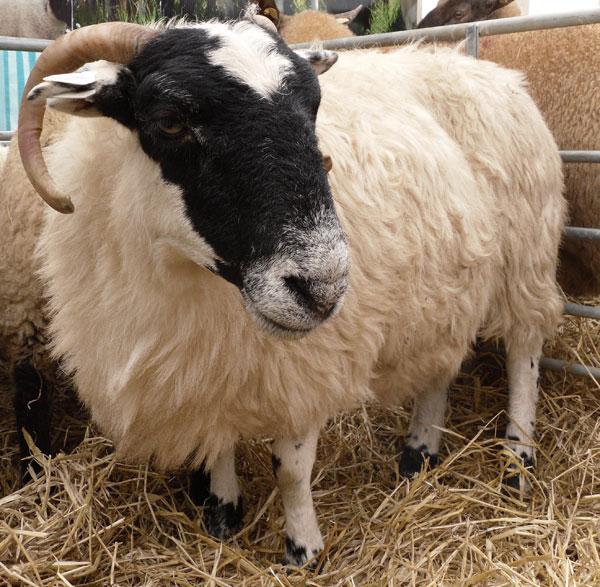 shepherding in ireland my sheep tour experience � dapkus