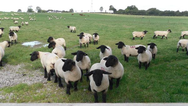 Shepherding in Ireland: My Sheep Tour Experience – Dapkus Southdown ...