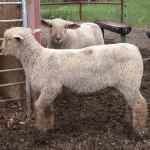 March Ewe Lamb for sale