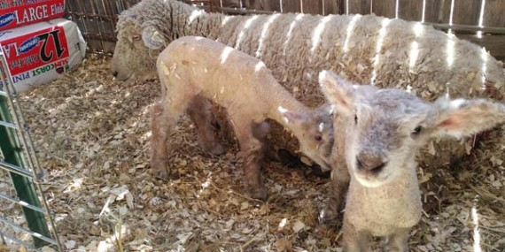 Dapkus Southdown Sheep – Purebred, registered show sheep in